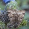 Rusvasis dobilinukas - Euclidia glyphica | Fotografijos autorius : Žilvinas Pūtys | © Macrogamta.lt | Šis tinklapis priklauso bendruomenei kuri domisi makro fotografija ir fotografuoja gyvąjį makro pasaulį.