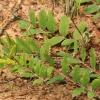 Saldžialapė kulkšnė - Astragalus glycyphyllos | Fotografijos autorius : Ramunė Vakarė | © Macrogamta.lt | Šis tinklapis priklauso bendruomenei kuri domisi makro fotografija ir fotografuoja gyvąjį makro pasaulį.