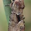 Salpinis pelėdgalvis - Xylomoia strix | Fotografijos autorius : Gintautas Steiblys | © Macrogamta.lt | Šis tinklapis priklauso bendruomenei kuri domisi makro fotografija ir fotografuoja gyvąjį makro pasaulį.