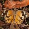 Satyras - Heteronympha merope ♀ | Fotografijos autorius : Žilvinas Pūtys | © Macrogamta.lt | Šis tinklapis priklauso bendruomenei kuri domisi makro fotografija ir fotografuoja gyvąjį makro pasaulį.