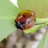 Septyntaškė boružė - Coccinella septempunctata | Fotografijos autorius : Kazimieras Martinaitis | © Macrogamta.lt | Šis tinklapis priklauso bendruomenei kuri domisi makro fotografija ir fotografuoja gyvąjį makro pasaulį.