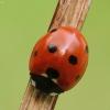 Septyntaškė boružė - Coccinella septempunctata | Fotografijos autorius : Vidas Brazauskas | © Macrogamta.lt | Šis tinklapis priklauso bendruomenei kuri domisi makro fotografija ir fotografuoja gyvąjį makro pasaulį.