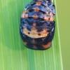 Septyntaškės boružės lėliukė | Fotografijos autorius : Gintautas Steiblys | © Macrogamta.lt | Šis tinklapis priklauso bendruomenei kuri domisi makro fotografija ir fotografuoja gyvąjį makro pasaulį.