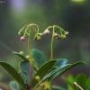 Skėtinė marenikė - Chimaphila umbellata | Fotografijos autorius : Vidas Brazauskas | © Macrogamta.lt | Šis tinklapis priklauso bendruomenei kuri domisi makro fotografija ir fotografuoja gyvąjį makro pasaulį.