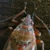 Skaidriasparnė dirvablakė - Kleidocerys resedae | Fotografijos autorius : Vidas Brazauskas | © Macrogamta.lt | Šis tinklapis priklauso bendruomenei kuri domisi makro fotografija ir fotografuoja gyvąjį makro pasaulį.