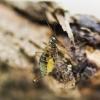Skorpionmusė - Boreus westwoodi   Fotografijos autorius : Kazimieras Martinaitis   © Macrogamta.lt   Šis tinklapis priklauso bendruomenei kuri domisi makro fotografija ir fotografuoja gyvąjį makro pasaulį.