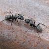 Skruzdėlė - Camponotus vaga   Fotografijos autorius : Gintautas Steiblys   © Macrogamta.lt   Šis tinklapis priklauso bendruomenei kuri domisi makro fotografija ir fotografuoja gyvąjį makro pasaulį.