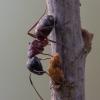 Skruzdėlė - Camponotus herculeanus   Fotografijos autorius : Žilvinas Pūtys   © Macrogamta.lt   Šis tinklapis priklauso bendruomenei kuri domisi makro fotografija ir fotografuoja gyvąjį makro pasaulį.