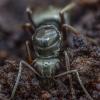 Skruzdėlė - Formica picea | Fotografijos autorius : Žilvinas Pūtys | © Macrogamta.lt | Šis tinklapis priklauso bendruomenei kuri domisi makro fotografija ir fotografuoja gyvąjį makro pasaulį.