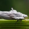 Skydamaris - Orthezia sp.   Fotografijos autorius : Oskaras Venckus   © Macrogamta.lt   Šis tinklapis priklauso bendruomenei kuri domisi makro fotografija ir fotografuoja gyvąjį makro pasaulį.