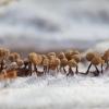 Sietūnis - Cribraria sp.   Fotografijos autorius : Žilvinas Pūtys   © Macrogamta.lt   Šis tinklapis priklauso bendruomenei kuri domisi makro fotografija ir fotografuoja gyvąjį makro pasaulį.