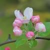 Slyvalapė obelis - Malus prunifolia | Fotografijos autorius : Gintautas Steiblys | © Macrogamta.lt | Šis tinklapis priklauso bendruomenei kuri domisi makro fotografija ir fotografuoja gyvąjį makro pasaulį.