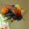 Smėliabitė - Andrena fulva | Fotografijos autorius : Gintautas Steiblys | © Macrogamta.lt | Šis tinklapis priklauso bendruomenei kuri domisi makro fotografija ir fotografuoja gyvąjį makro pasaulį.