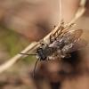 Smėliabitė - Andrena sp. | Fotografijos autorius : Ramunė Činčikienė | © Macrogamta.lt | Šis tinklapis priklauso bendruomenei kuri domisi makro fotografija ir fotografuoja gyvąjį makro pasaulį.