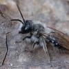 Smėliabitė - Andrena vaga ♂ | Fotografijos autorius : Gintautas Steiblys | © Macrogamta.lt | Šis tinklapis priklauso bendruomenei kuri domisi makro fotografija ir fotografuoja gyvąjį makro pasaulį.