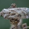 Smėlinis dirvinukas - Agrotis vestigialis | Fotografijos autorius : Žilvinas Pūtys | © Macrogamta.lt | Šis tinklapis priklauso bendruomenei kuri domisi makro fotografija ir fotografuoja gyvąjį makro pasaulį.