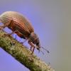 Smailiablauzdis lapinukas - Polydrusus mollis   Fotografijos autorius : Arūnas Eismantas   © Macrogamta.lt   Šis tinklapis priklauso bendruomenei kuri domisi makro fotografija ir fotografuoja gyvąjį makro pasaulį.