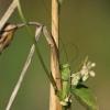 Pievinis smailiagalvis - Conocephalus fuscus | Fotografijos autorius : Agnė Našlėnienė | © Macrogamta.lt | Šis tinklapis priklauso bendruomenei kuri domisi makro fotografija ir fotografuoja gyvąjį makro pasaulį.