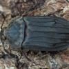 Smailiapetis maitvabalis - Thanatophilus sinuatus | Fotografijos autorius : Žilvinas Pūtys | © Macrogamta.lt | Šis tinklapis priklauso bendruomenei kuri domisi makro fotografija ir fotografuoja gyvąjį makro pasaulį.