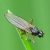 Smailiasparnė muselė - Lonchoptera sp.   Fotografijos autorius : Vidas Brazauskas   © Macrogamta.lt   Šis tinklapis priklauso bendruomenei kuri domisi makro fotografija ir fotografuoja gyvąjį makro pasaulį.