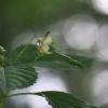 Smulkiažiedė sprigė - Impatiens parviflora | Fotografijos autorius : Agnė Našlėnienė | © Macrogamta.lt | Šis tinklapis priklauso bendruomenei kuri domisi makro fotografija ir fotografuoja gyvąjį makro pasaulį.