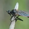 Snapmusė - Rhamphomyia cf. albosegmentata | Fotografijos autorius : Gintautas Steiblys | © Macrogamta.lt | Šis tinklapis priklauso bendruomenei kuri domisi makro fotografija ir fotografuoja gyvąjį makro pasaulį.