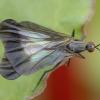 Snapmusė - Rhamphomyia marginata ♀ | Fotografijos autorius : Žilvinas Pūtys | © Macrogamta.lt | Šis tinklapis priklauso bendruomenei kuri domisi makro fotografija ir fotografuoja gyvąjį makro pasaulį.