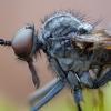 Snapmusė - Rhamphomyia spinipes ♂ | Fotografijos autorius : Žilvinas Pūtys | © Macrogamta.lt | Šis tinklapis priklauso bendruomenei kuri domisi makro fotografija ir fotografuoja gyvąjį makro pasaulį.