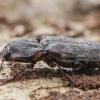 Spragšis - Danosoma conspersum | Fotografijos autorius : Kazimieras Martinaitis | © Macrogamta.lt | Šis tinklapis priklauso bendruomenei kuri domisi makro fotografija ir fotografuoja gyvąjį makro pasaulį.