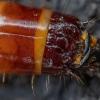 Kanapėtasis spragšis - Agrypnus murinus, lerva | Fotografijos autorius : Žilvinas Pūtys | © Macrogamta.lt | Šis tinklapis priklauso bendruomenei kuri domisi makro fotografija ir fotografuoja gyvąjį makro pasaulį.