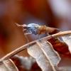 Sraigžudė - Elgiva cucularia? | Fotografijos autorius : Kazimieras Martinaitis | © Macrogamta.lt | Šis tinklapis priklauso bendruomenei kuri domisi makro fotografija ir fotografuoja gyvąjį makro pasaulį.