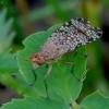 Sraigžudė - Euthycera chaerophylli | Fotografijos autorius : Romas Ferenca | © Macrogamta.lt | Šis tinklapis priklauso bendruomenei kuri domisi makro fotografija ir fotografuoja gyvąjį makro pasaulį.