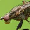 Sraigžudė - Pherbellia cinerella | Fotografijos autorius : Vidas Brazauskas | © Macrogamta.lt | Šis tinklapis priklauso bendruomenei kuri domisi makro fotografija ir fotografuoja gyvąjį makro pasaulį.