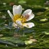 Standžialapė kurklė - Ranunculus circinatus | Fotografijos autorius : Gintautas Steiblys | © Macrogamta.lt | Šis tinklapis priklauso bendruomenei kuri domisi makro fotografija ir fotografuoja gyvąjį makro pasaulį.