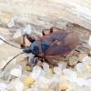 Storakojė dirvablakė - Gastrodes grossipes | Fotografijos autorius : Kazimieras Martinaitis | © Macrogamta.lt | Šis tinklapis priklauso bendruomenei kuri domisi makro fotografija ir fotografuoja gyvąjį makro pasaulį.