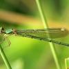 Didžioji strėliukė -  Chalcolestes viridis | Fotografijos autorius : Ramunė Vakarė | © Macrogamta.lt | Šis tinklapis priklauso bendruomenei kuri domisi makro fotografija ir fotografuoja gyvąjį makro pasaulį.