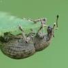 Barštinis straubliukas - Liophloeus tessulatus | Fotografijos autorius : Vidas Brazauskas | © Macrogamta.lt | Šis tinklapis priklauso bendruomenei kuri domisi makro fotografija ir fotografuoja gyvąjį makro pasaulį.