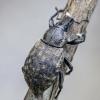 Straubliukas - Barynotus obscurus | Fotografijos autorius : Kazimieras Martinaitis | © Macrogamta.lt | Šis tinklapis priklauso bendruomenei kuri domisi makro fotografija ir fotografuoja gyvąjį makro pasaulį.
