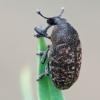 Straubliukas - Larinus obtusus   Fotografijos autorius : Gintautas Steiblys   © Macrogamta.lt   Šis tinklapis priklauso bendruomenei kuri domisi makro fotografija ir fotografuoja gyvąjį makro pasaulį.