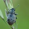 Straubliukas - Strophosoma faber | Fotografijos autorius : Gintautas Steiblys | © Macrogamta.lt | Šis tinklapis priklauso bendruomenei kuri domisi makro fotografija ir fotografuoja gyvąjį makro pasaulį.