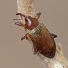 Drebulinis gluosniastraublis - Dorytomus tortrix | Fotografijos autorius : Gintautas Steiblys | © Macrogamta.lt | Šis tinklapis priklauso bendruomenei kuri domisi makro fotografija ir fotografuoja gyvąjį makro pasaulį.