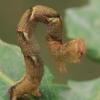Taškuotasis taškasprindis - Cyclophora punctaria, vikšras  | Fotografijos autorius : Gintautas Steiblys | © Macrogamta.lt | Šis tinklapis priklauso bendruomenei kuri domisi makro fotografija ir fotografuoja gyvąjį makro pasaulį.