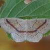Taškuotasis taškasprindis - Cyclophora punctaria | Fotografijos autorius : Arūnas Eismantas | © Macrogamta.lt | Šis tinklapis priklauso bendruomenei kuri domisi makro fotografija ir fotografuoja gyvąjį makro pasaulį.