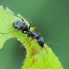 Tamsiarudė miško skruzdėlė - Formica fusca | Fotografijos autorius : Gintautas Steiblys | © Macrogamta.lt | Šis tinklapis priklauso bendruomenei kuri domisi makro fotografija ir fotografuoja gyvąjį makro pasaulį.