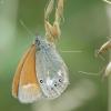 Tamsusis satyriukas - Coenonympha glycerion | Fotografijos autorius : Vidas Brazauskas | © Macrogamta.lt | Šis tinklapis priklauso bendruomenei kuri domisi makro fotografija ir fotografuoja gyvąjį makro pasaulį.