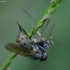 Tigrinė cenozija - Coenosia tigrina | Fotografijos autorius : Romas Ferenca | © Macrogamta.lt | Šis tinklapis priklauso bendruomenei kuri domisi makro fotografija ir fotografuoja gyvąjį makro pasaulį.