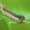 Tikrasis pjūklelis - Tenthredinidae, lerva | Fotografijos autorius : Žilvinas Pūtys | © Macrogamta.lt | Šis tinklapis priklauso bendruomenei kuri domisi makro fotografija ir fotografuoja gyvąjį makro pasaulį.
