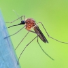 Tikrasis uodas - Aedes cf. cinereus   Fotografijos autorius : Gintautas Steiblys   © Macrogamta.lt   Šis tinklapis priklauso bendruomenei kuri domisi makro fotografija ir fotografuoja gyvąjį makro pasaulį.
