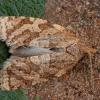 Tinkliškoji adoksofija - Adoxophyes orana | Fotografijos autorius : Žilvinas Pūtys | © Macrogamta.lt | Šis tinklapis priklauso bendruomenei kuri domisi makro fotografija ir fotografuoja gyvąjį makro pasaulį.