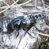 Trumpasparnis - Creophilus maxillosus   Fotografijos autorius : Romas Ferenca   © Macrogamta.lt   Šis tinklapis priklauso bendruomenei kuri domisi makro fotografija ir fotografuoja gyvąjį makro pasaulį.